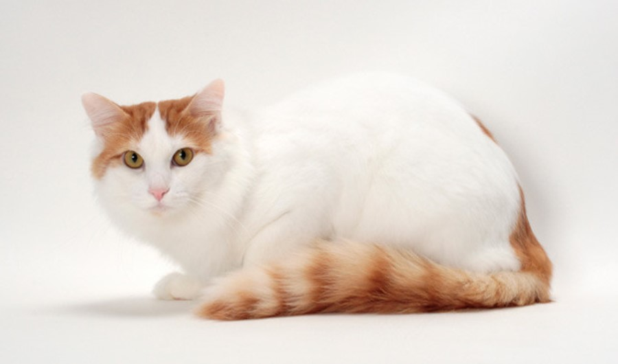 Turkish-Van-2